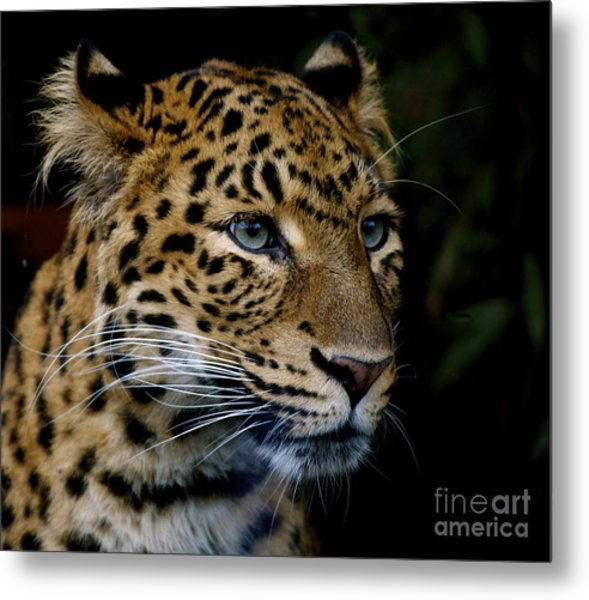 Chinese Panther Metal Print
