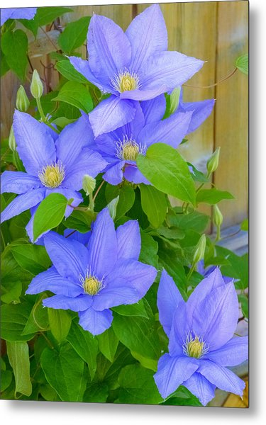 Metal Print featuring the photograph Clematis  by Garvin Hunter