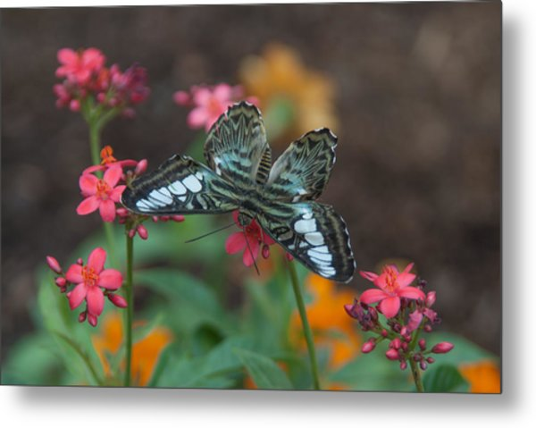 Clipper Butterfly 6150-052513-1cr Metal Print
