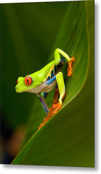 Close-up Of A Red-eyed Tree Frog Metal Print