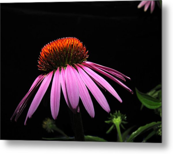 Metal Print featuring the photograph Cone Flower by David Armstrong