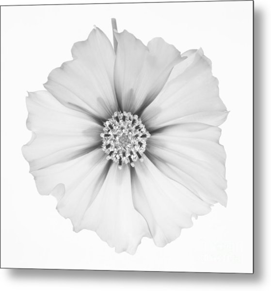Cosmos Flower In Black And White. Metal Print by Rosemary Calvert
