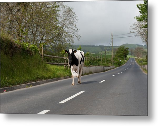 Cow Walks Along Country Road Metal Print