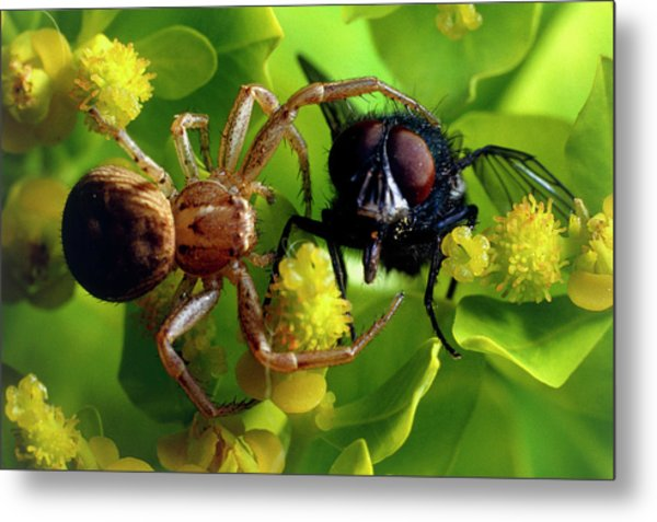 Crab Spider With Fly Metal Print by David Spears/science Photo Library
