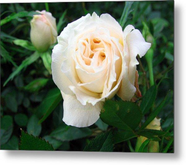 Cream Pot Rose Metal Print