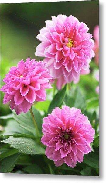 Dahlia Flowers Metal Print by Maria Mosolova/science Photo Library