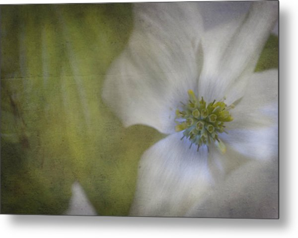 Dogwood Metal Print by Cindy Rubin