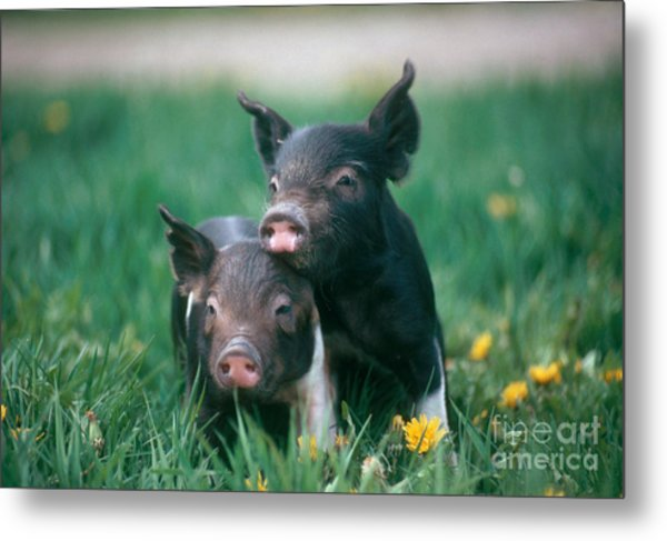 Domestic Piglets Metal Print