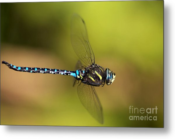 Dragonfly Metal Print by Sharon Talson