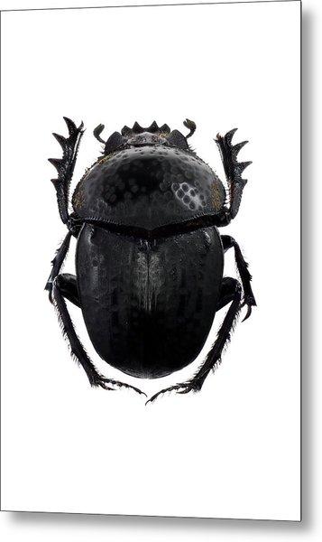 Dung Beetle Metal Print