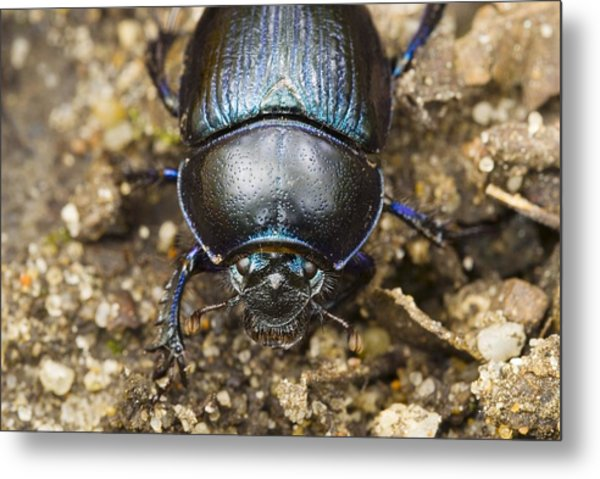 Dung Beetle Metal Print by Science Photo Library