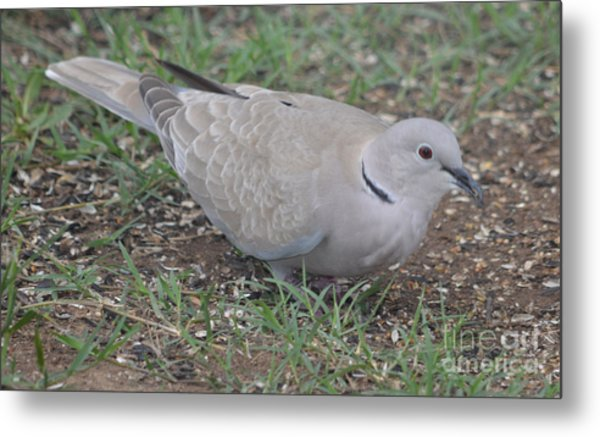 Eurasian Collared Dove  Metal Print by Ruth  Housley