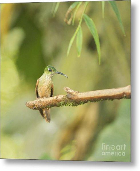Fawn-breasted Brilliant Hummingbird Metal Print
