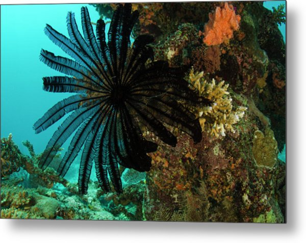Feather Star (comasteridae Metal Print by Pete Oxford