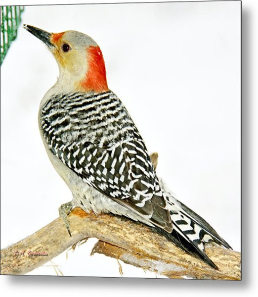 Female Redbellied Woodpecker In Winter Animal Portrait Metal Print