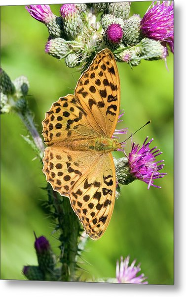 Female Silver-washed Fritillary Metal Print by John Devries/science Photo Library