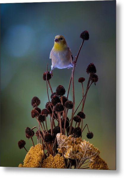Finch Metal Print by Bruce Brooks