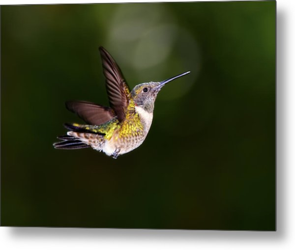 Flight Of A Hummingbird Metal Print