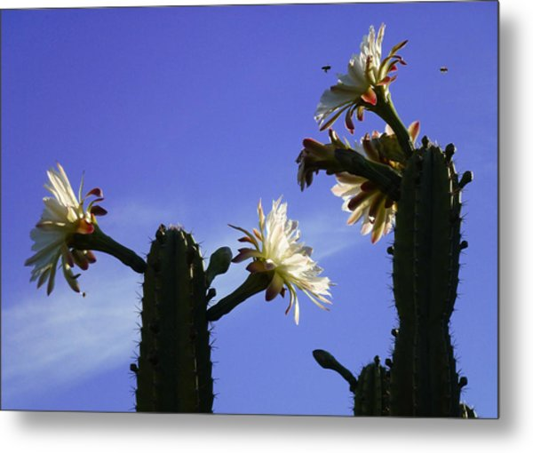 Flowering Cactus 4 Metal Print