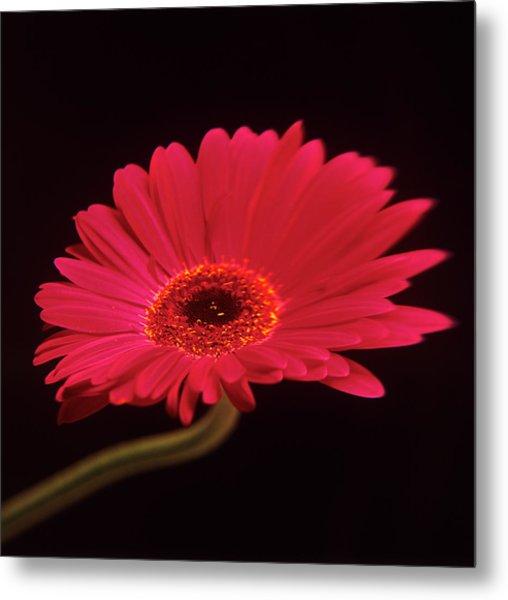 Gerbera Flower Metal Print by Mark Thomas/science Photo Library