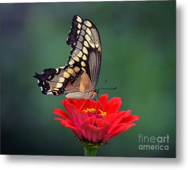 Giant Swallowtail Metal Print