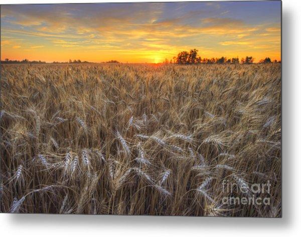 Golden Barley Metal Print