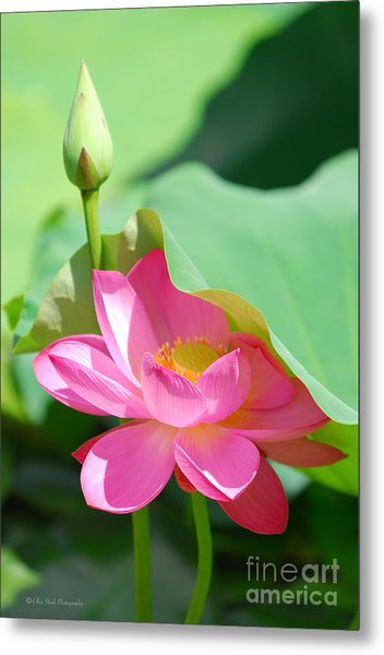 D48l-96 Water Lily At Goodale Park Photo Metal Print