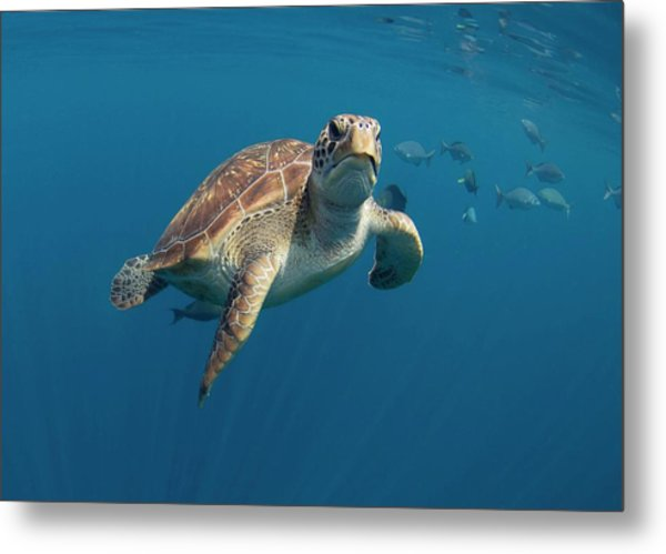 Green Turtle Swimming Metal Print