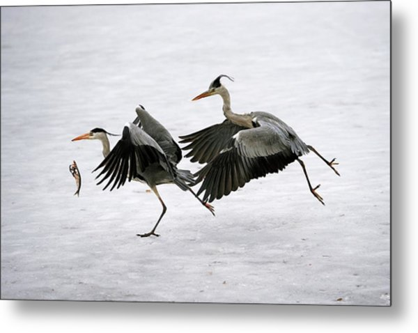 Grey Herons Fighting Over A Fish Metal Print