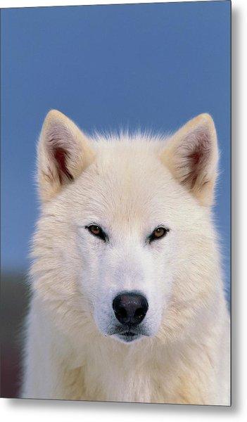 Grey Wolf White-form Metal Print