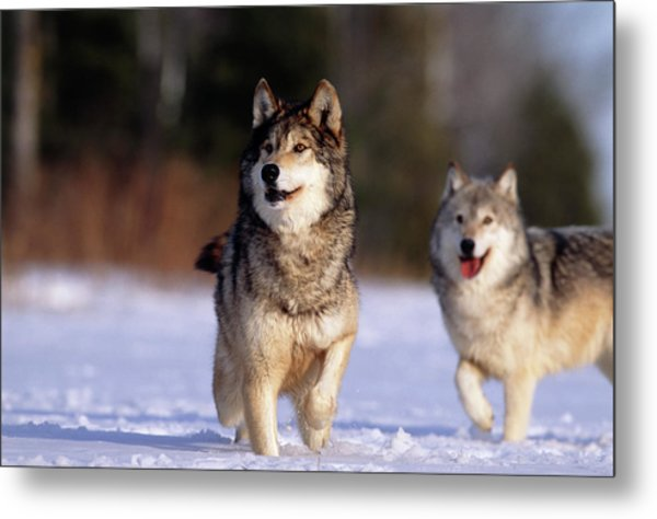 Grey Wolves In Snow Metal Print by William Ervin/science Photo Library