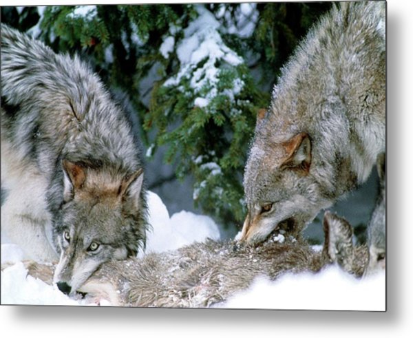 Grey Wolves With A Kill Metal Print by William Ervin/science Photo Library