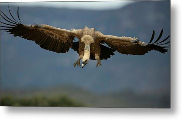 Griffon Vulture Flying Metal Print