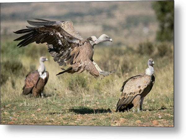 Griffon Vultures Metal Print
