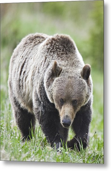 Grizzly Looking For Flowers To Eat Metal Print