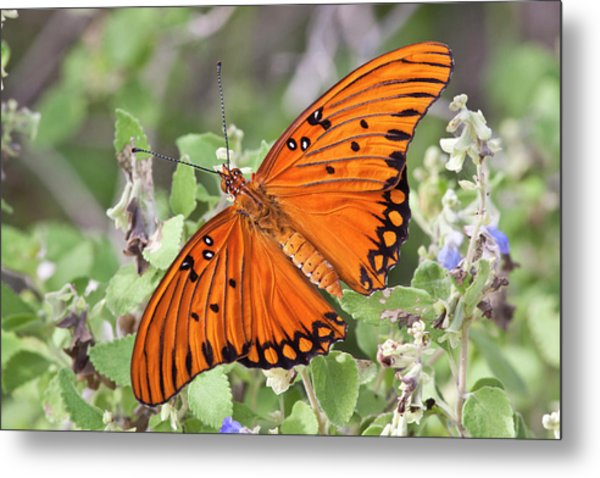 Gulf Fritillary (agraulis Vanillae Metal Print by Larry Ditto