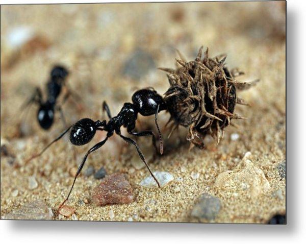 Harvester Ant Metal Print