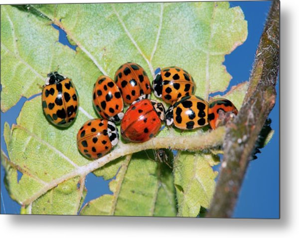 Hibernating Harlequin Ladybirds Metal Print by Dr. John Brackenbury