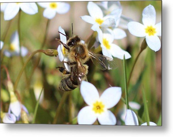 Honeybee On Bluet Metal Print