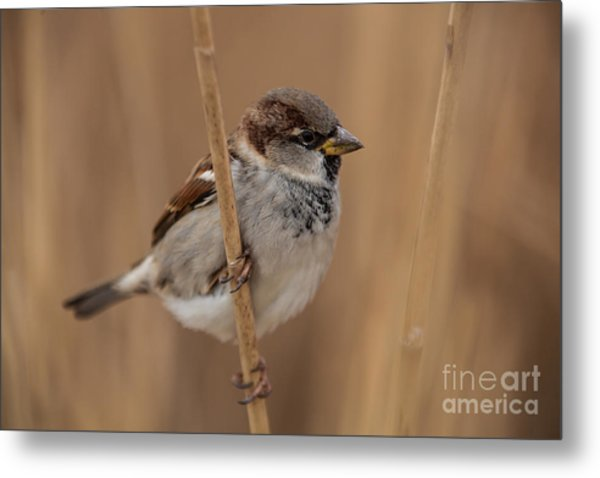 House Sparrow Passer Domesticus Metal Print