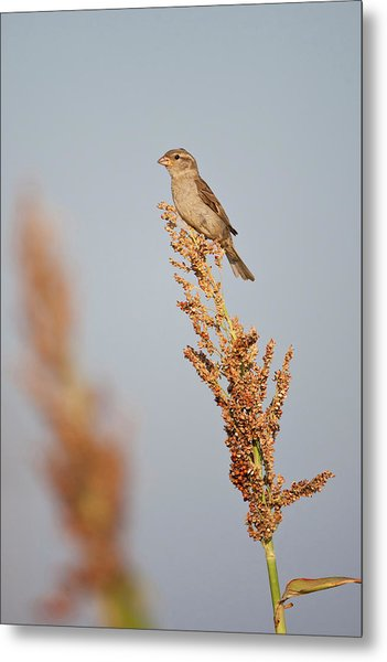 House Sparrow (passer Domesticus Metal Print