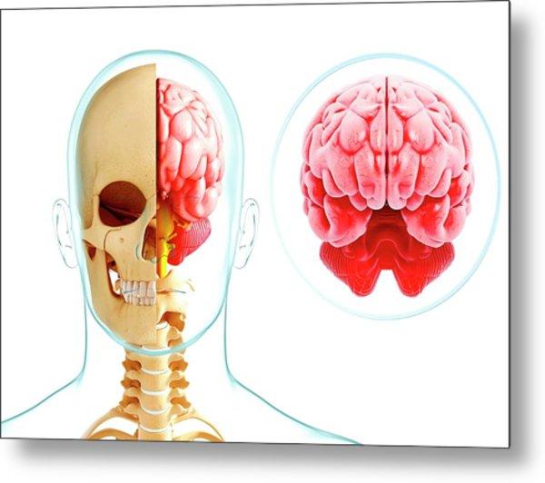 Human Brain Anatomy Metal Print