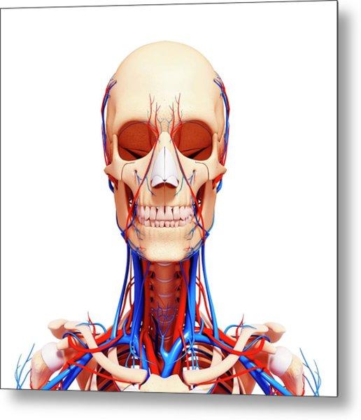 Human Cardiovascular System Metal Print