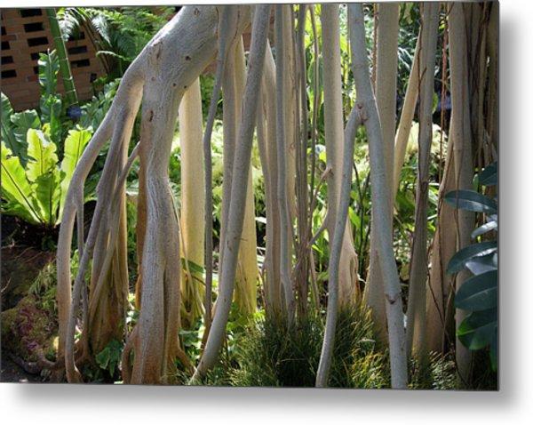 Indian Banyan Tree (ficus Benghalensis) Metal Print