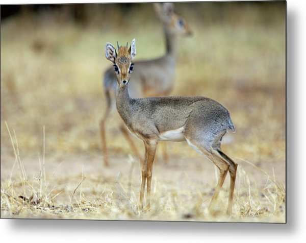 Kirk's Dik-dik Metal Print by Dr P. Marazzi/science Photo Library