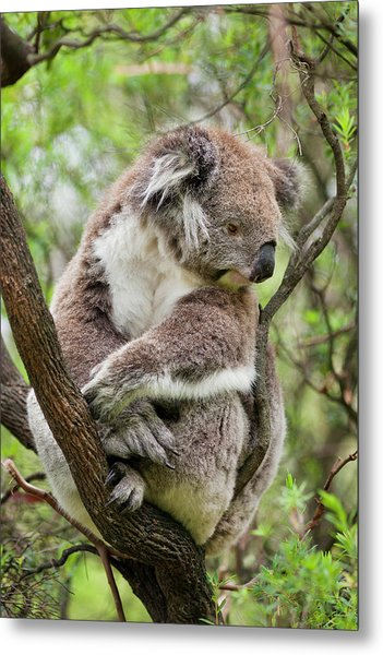 Koala (phascolarctos Cinereus Metal Print