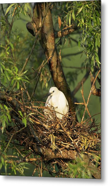 Little Egret (egretta Garzetta Metal Print