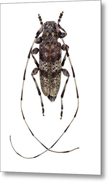 Longhorn Beetle Metal Print