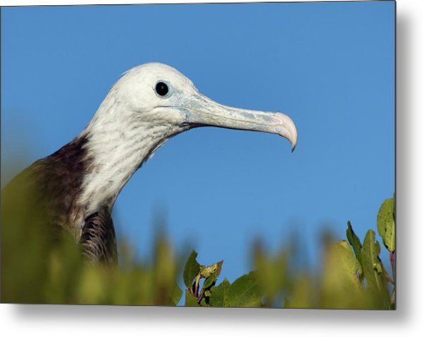 Magnificent Frigate Bird Metal Print by Christopher Swann/science Photo Library