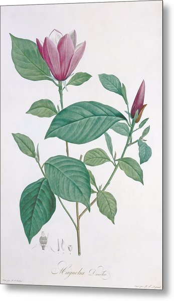 Magnolia Discolor, Engraved By Legrand Metal Print